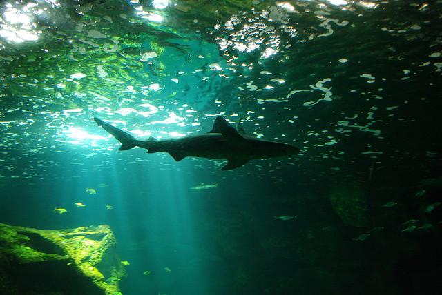 _requin