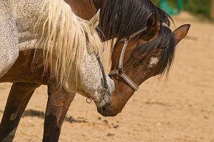 cheval_zoophilie